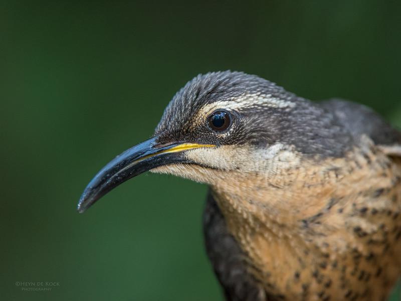 Victoria's Riflebird, Lake Eacham, QLD, Dec 2014.jpg