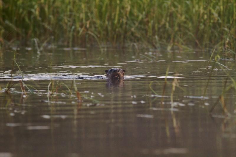 River Otter File0013.jpg