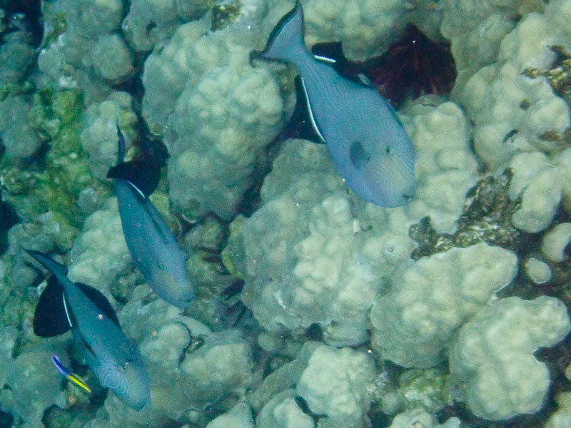 Bluelined Surgeons with  Cleaner Wrasse