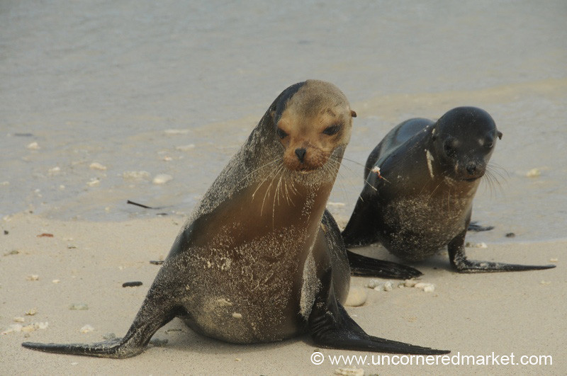 Sea Lion Strut - Galapagos Islands