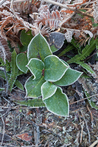 Ozette Trail Plants with Frost