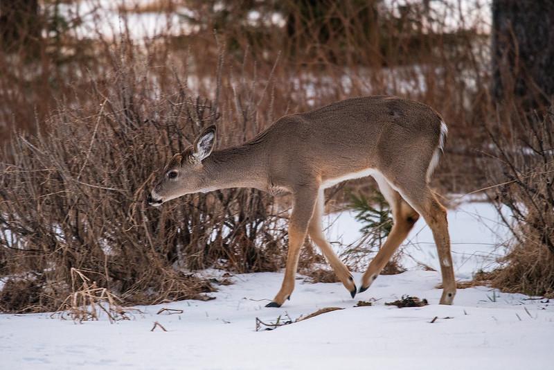 deer in the yard 3.jpg