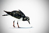 Close up of a beach bird with white background. Photography fine art photo prints print photos photograph photographs image images artwork.