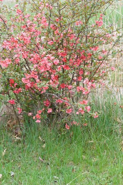red bloom bush pano-2.jpg