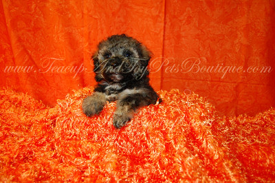 2010 Poodle Puppies Sold Photo Galleries