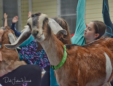 Still More Goat Yoga