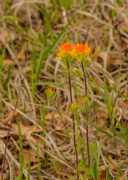 Indian Paintbrush at DuPont Natural Area, East Chicago, IN