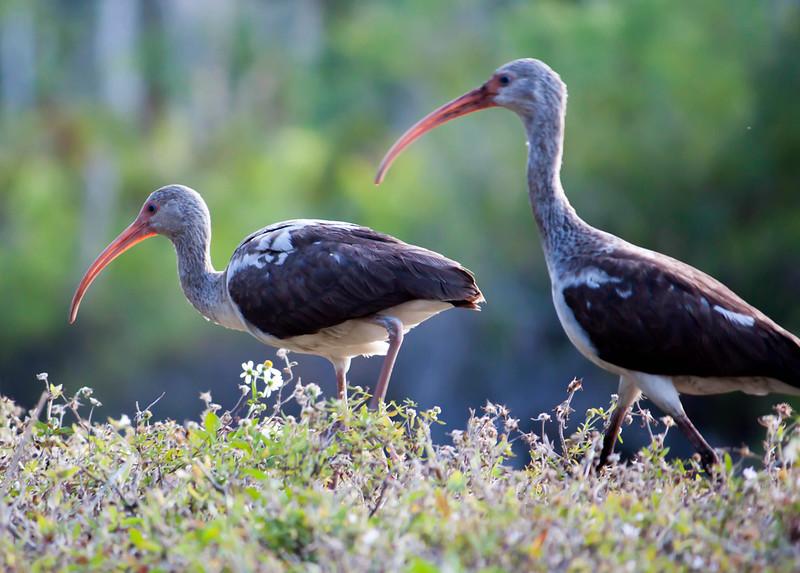 juvenile ibis pair.jpg