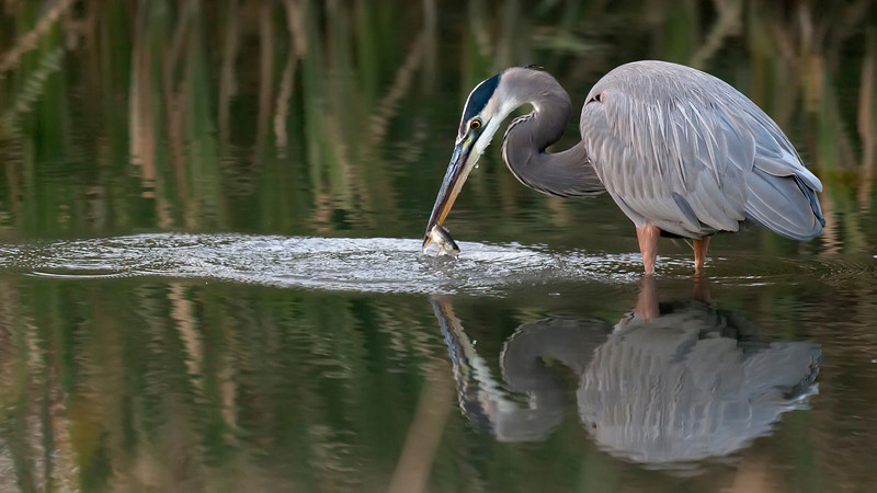 Great Blue Heron fishing #3