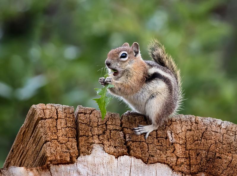 Chipmunk Feast.jpg