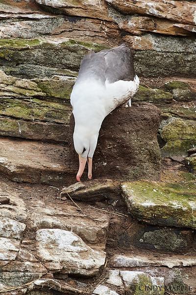 Black-browed_Albatross_32.jpg