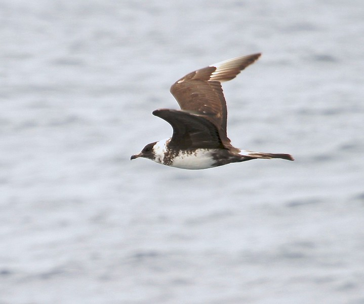 """""""Jaeger"""" means hunter in German and that is a good name for this predatory bird. It also harasses gulls into vomiting up their last meal [August; Monterey Bay, California]"""