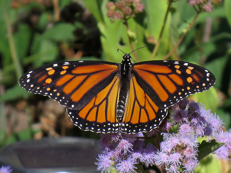 sx50_monarch_butterflies_flora_560.jpg