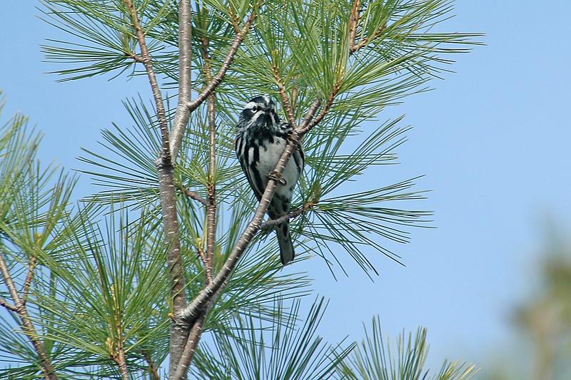 Warbler - Black and White - Acadia National Park - Bar Harbor, ME