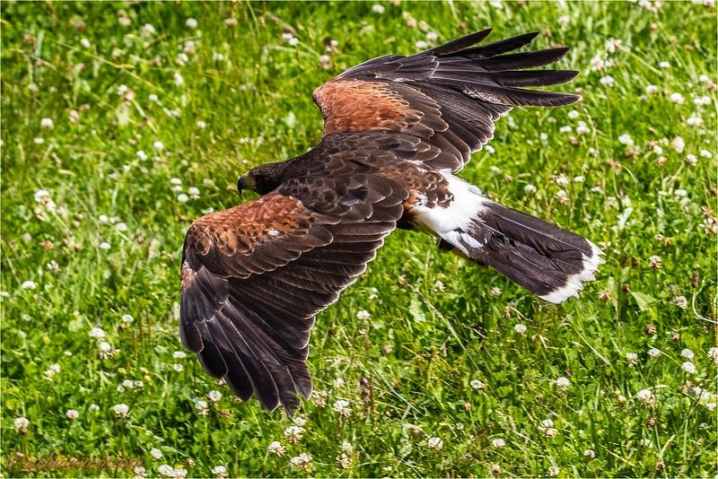 2016-07-01 Greifvogel-Flugshow Franz Rucklak Titisee -0U5A4417-Bearbeitet.jpg