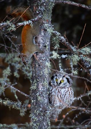 Boreal Owl at Sax-Zim Bog