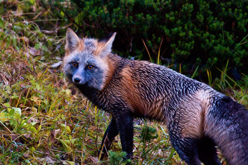 The Cascade Red Fox, her coat wet from the morning mist hunts for food in the meadows below Paradise on Mt Rainier. They are being considered for protection on the endangered species list and are thought to be found only on Mt Rainier and Mt Adams in Washington.