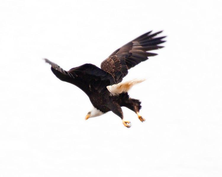 Eagle_Bald__20100215_120135.jpg