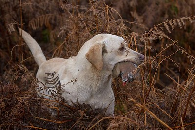 YORKSHIRE RETRIEVER FIELD TRIAL SOCIETY - ALL AGED 2015 , EAGLE HALL