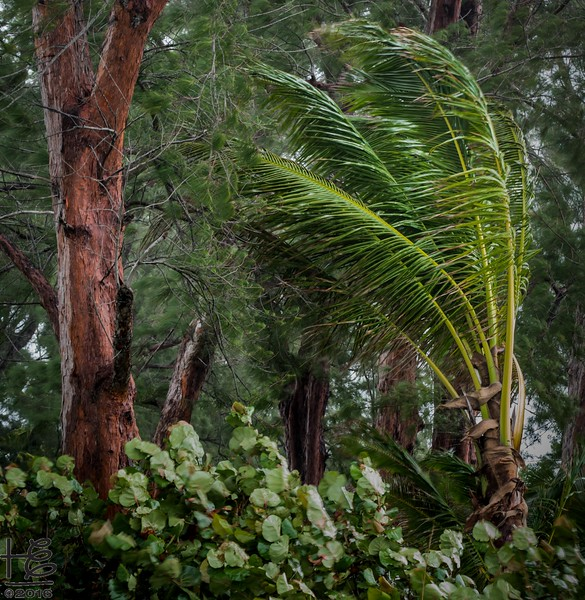 Wind-blown palm tree