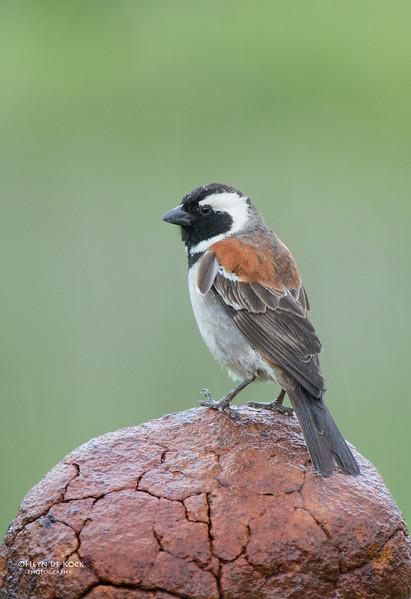 Cape Sparrow, Hobhouse, FS, SA, Dec 2013-1.jpg