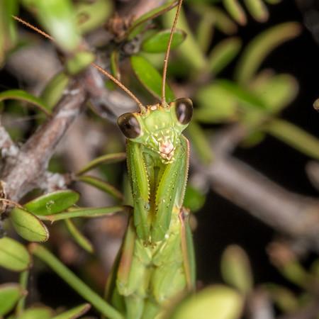 Orthodera novaezealandiae - New Zealand mantis