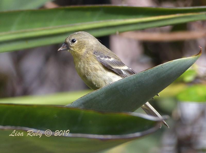 Lesser Goldfinch - 7/1/2019 - Sabre Springs Backyard