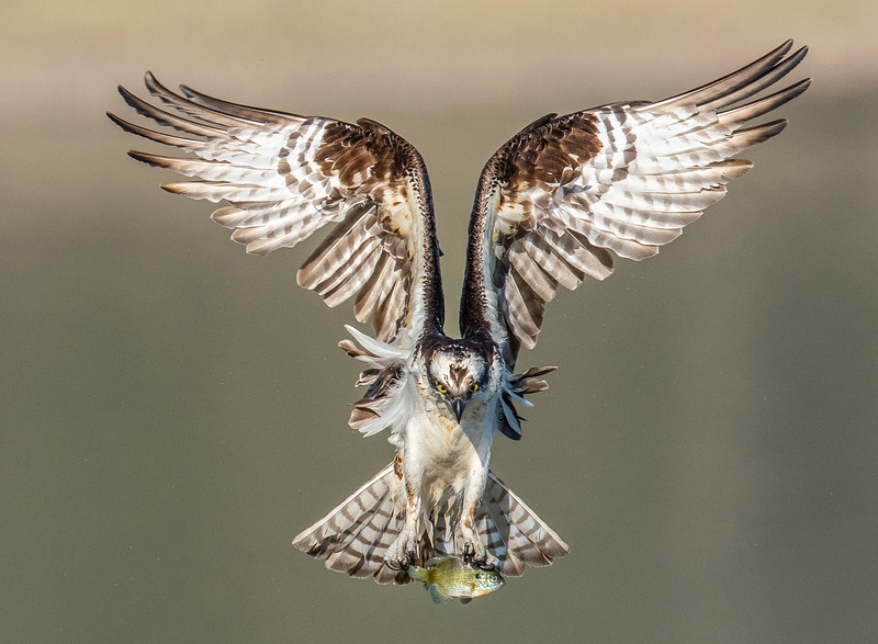 Osprey Final.jpg