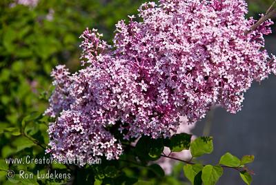 Littleleaf Lilac - Syringa microphylla 'Superba'