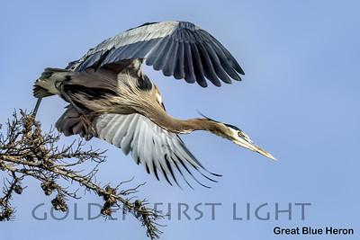 Great Blue Heron, Moss Landing CA, USA
