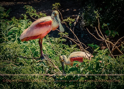 Nesting Spoonbills during Springtime in High Island, TX.