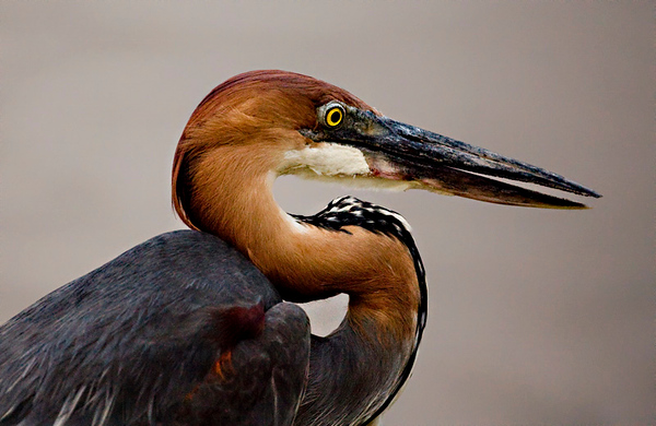 Goliath heron, Ardea goliath