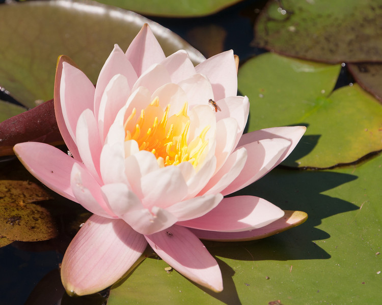 Pink Water Lily SC7179.jpg