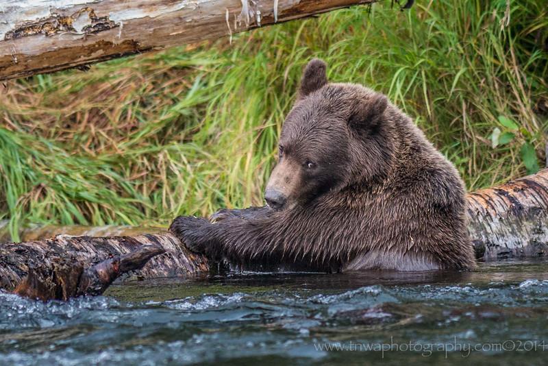 Bashful Cub Russian River Cooper Landing, Alaska © 2014