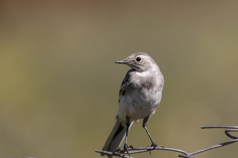 Mulakhi, witte kwikstaart, pied wagtail