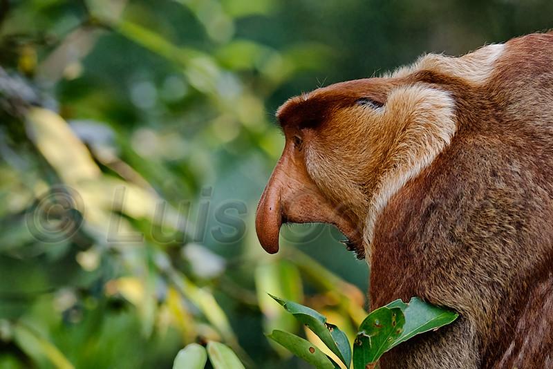 Borneo, Nasik,  © Luis Courtot