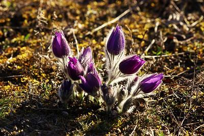 Koniklecová louka / The Pasque Meadow 15. 3. 2020
