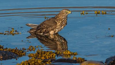 HAUK FALK VÅK - Buzzard Falcon Hawk