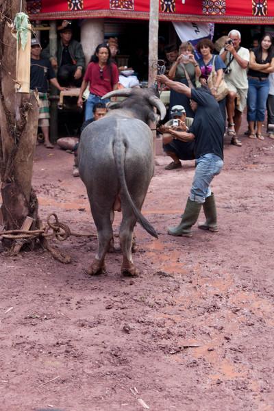 Toraja, Offeren / Slachten buffel