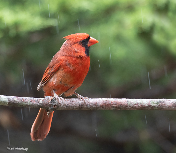 Northern Cardinal in the Rain