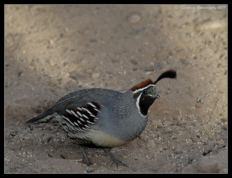 Gambel's Quail Male, Salton Sea, Imperial County, California, November 2009