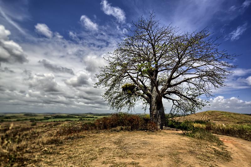 Baoba tree.jpg