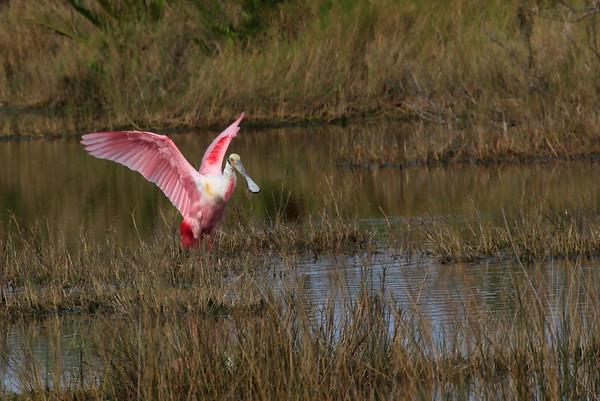 Birds of Merritt Island, FL