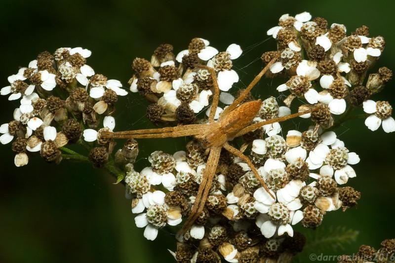 Nursery web spider, Pisaurina mira, from Wisconsin.