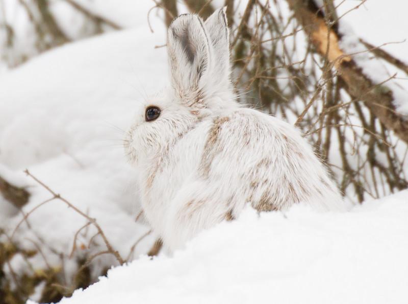 Snowshoe Hare Warren Nelson Memorial Bog Sax-Zim Bog MN IMG_0788.jpg