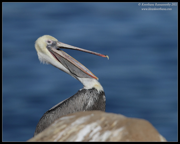 Brown Pelican yawning, La Jolla Cove, San Diego County, California, December 2011