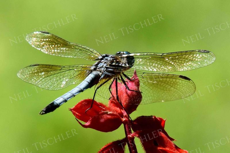1126-blue_dragonfly.jpg