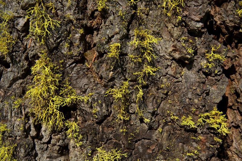 Moss on Pine Bard in Merced Grove