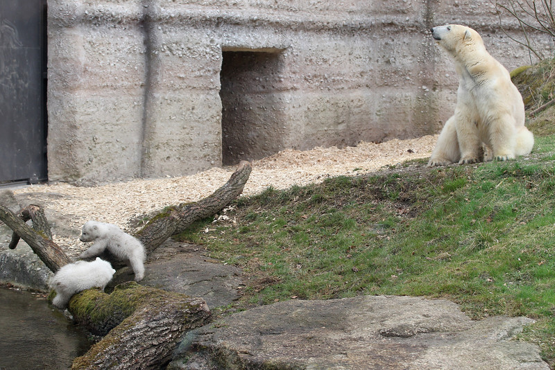 . 14 week-old twin polar bear cubs play next to their mother Giovanna during their first presentation to the media in Hellabrunn zoo on March 19, 2014 in Munich, Germany. The male and female twins were born on December 9, 2013 in the zoo.  (Photo by Alexandra Beier/Getty Images)
