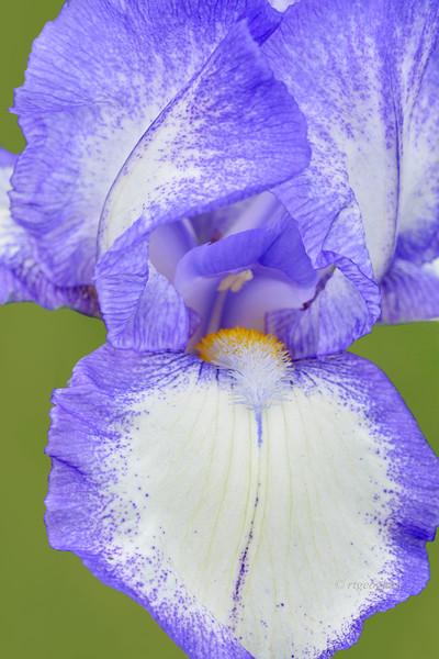 Iris-Dotted Swiss